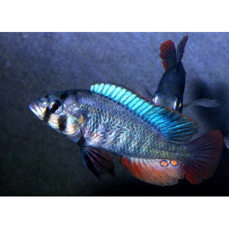 Haplochromis sp. Mbonirwa Island  11-13 cm