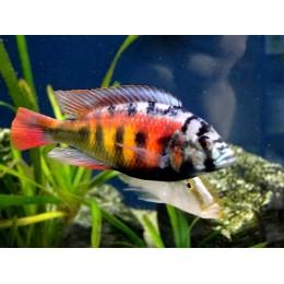 Haplochromis CH44
