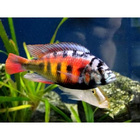 Haplochromis CH44  3-4 cm