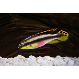 Pelvicachromis Pulcher (Kribensis) 4-5 cm