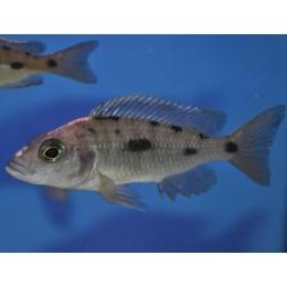 Otopharynx Lithobates hembra 6-8 cm