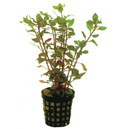 LUDWIGIA PALUSTRIS RED 5 CM POT