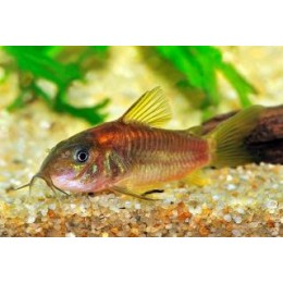 Corydora Red Stripe
