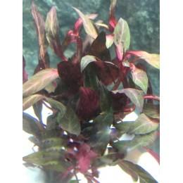 Alternanthera Peruensis