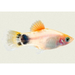 Platy Tricolor Mickey Mouse