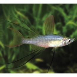 Pez Arcoiris de Aleta Filamentosa