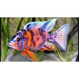 Aulonocara Calico Fire Red
