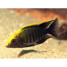Aulonocara Maylandi Yellow Head