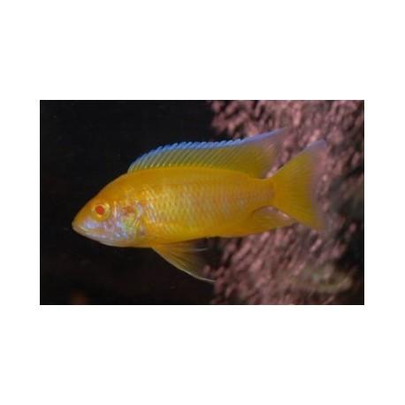 Aulonocara Yellow Lemon Albin