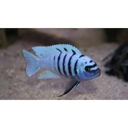 Cynotilapia Afra Hara Gallireya Reef