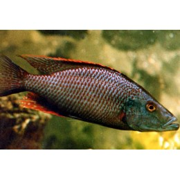 Dimidiochromis Compressiceps Red