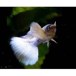 Guppy Dumbo White Platinum Macho