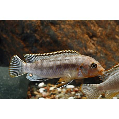 Labidochromis Maculicauda