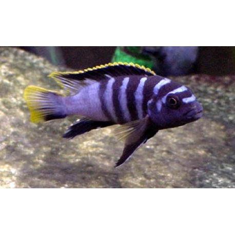 Labidochromis Mbamba Bay Yellow Fin
