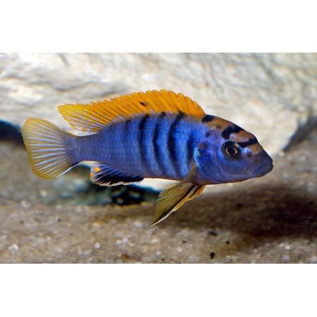 Labidochromis Hongi