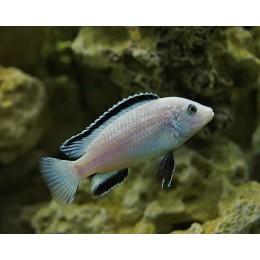 Labidochromis White