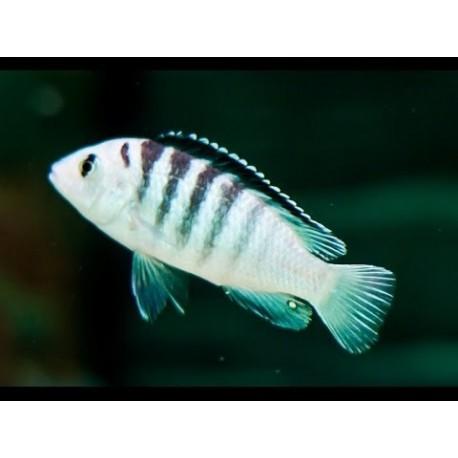 Labidochromis Nkali