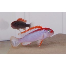Pseudotropheus Red Top Ndumbi