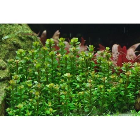 amannia sp bonsai