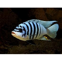 Metraclima Zebra Chilumba Maison Reef