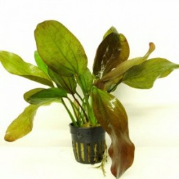 ECHINODORUS FANCY TWIST 5 CM POT