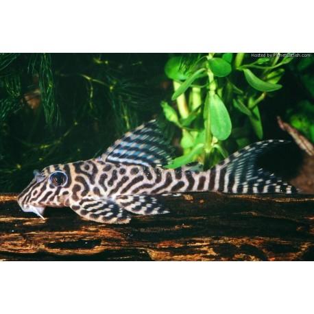 L066 Hypancistrus King Tiger