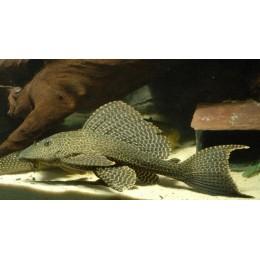 L083 Plecostomus Mariposa
