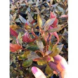 Alternanthera reineckii var roseifolia