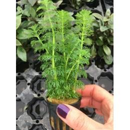 Ambulia sessiliflora Limnophila sessiliflora