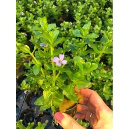 Bacopa amplexicaulis caroliniana