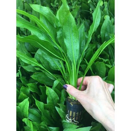 Dracaena variegata (Verde y blanca)