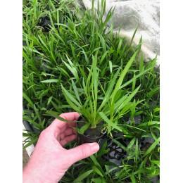 Echinodorus latifolius xingu