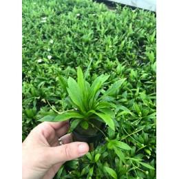 Echinodorus magdalensis quadricostatus Helanthium bolivianum