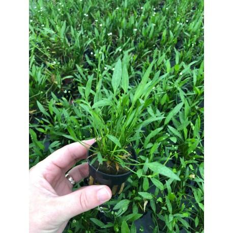 Echinodorus tenellus Helanthium tenellum