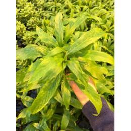 Hygrophila corymbosa var salicifolia