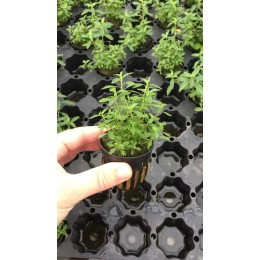 Proserpinaca palustris Cuba