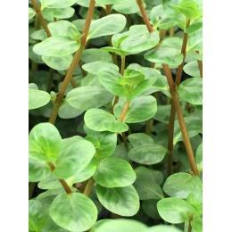 Rotala rotundifolia indica