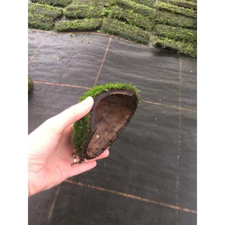 Vesicularia dubyana Coco Half 1 Entry