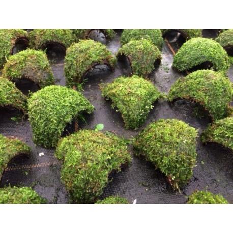 Vesicularia dubyana Coco Half 3 Entries