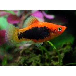 Platy Negro Cabeza Naranja