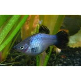 Platy Wagtail azul brillante