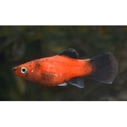 Platy Wagtail Rojo