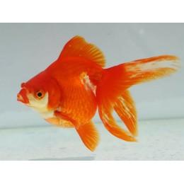 Oranda Ryukin Rojo