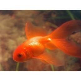 Oranda Fantail Rojo