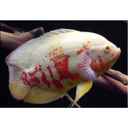 Oscar Tigre Albino