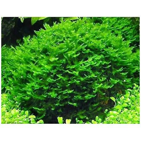 Monosolenium tenerum Pellia moss