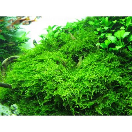 Vesicularia montagnei Christmas moss