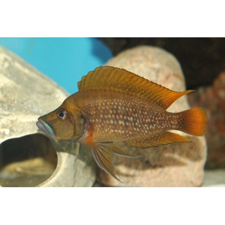 Altolamprologus compressiceps red