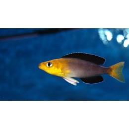 Cyprichromis leptosoma jumbo kipili goldhead