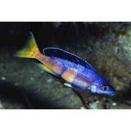 Cyprichromis leptosoma jumbo kitumba